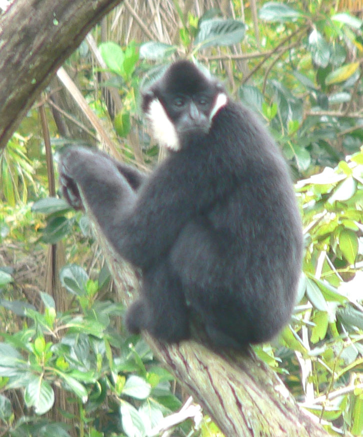The Northern White-cheeked Crested Gibbon (Nomascus leucogenys) is Critically Endangered, with the majority of the tiny population found in just one park in Vietnam. Photo by Raul 654 licensed under the terms of the GNU Free Documentation License, Version 1.2 or later