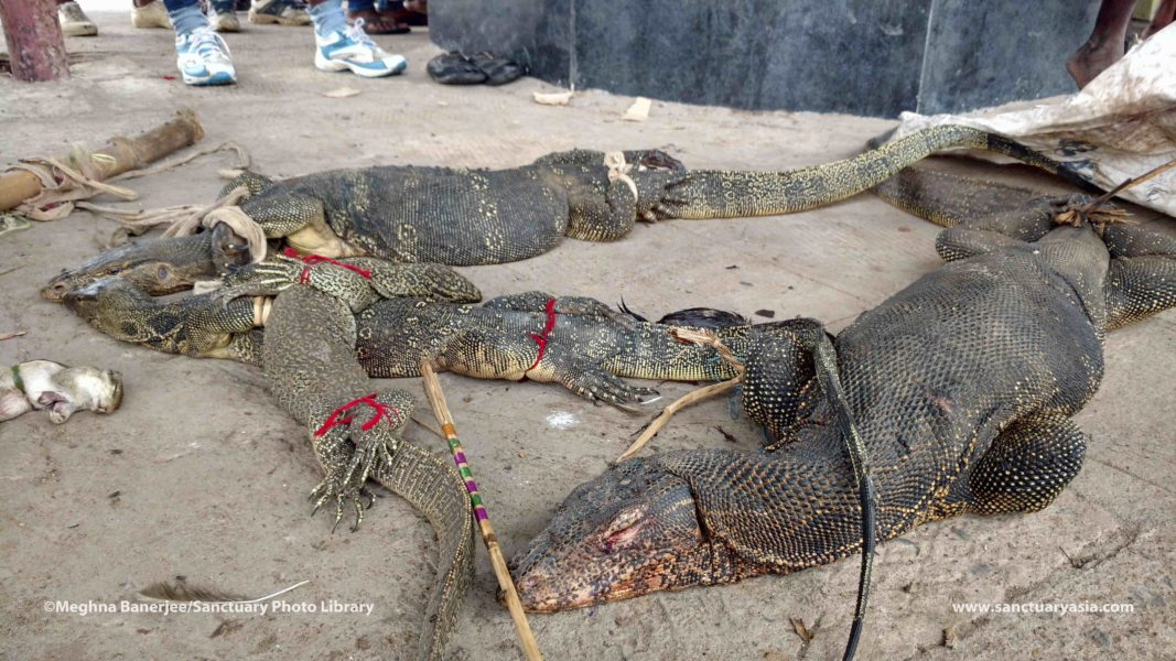 Bound monitor lizards, injured but still alive, on the platform at the Panskura Railway Station. They will be killed and skinned. Photo courtesy of PUBLIC and Sanctuary Asia.