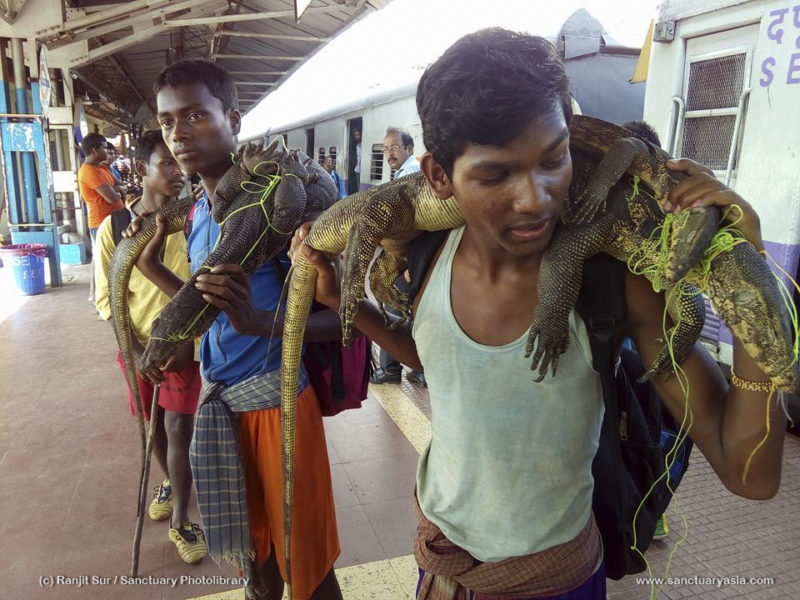 Hunters at Panskura Railway Station, displaying their catch – monitor lizards, which are protected under Schedule I of the Wild Life Protection Act, 1973. Photo courtesy of PUBLIC and Sanctuary Asia.