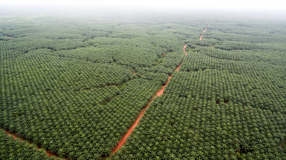 One of Korindo's oil palm estates in Papua. Photo courtesy of Mighty