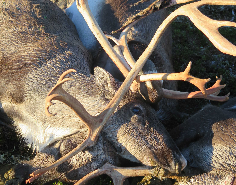 323 reindeer were killed by lightning strike. Photo credit: Havard Kjøntvedt, Environment Directorate / the Norwegian Nature Inspectorate.