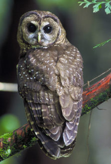 Northern_Spotted_Owl.USFWS
