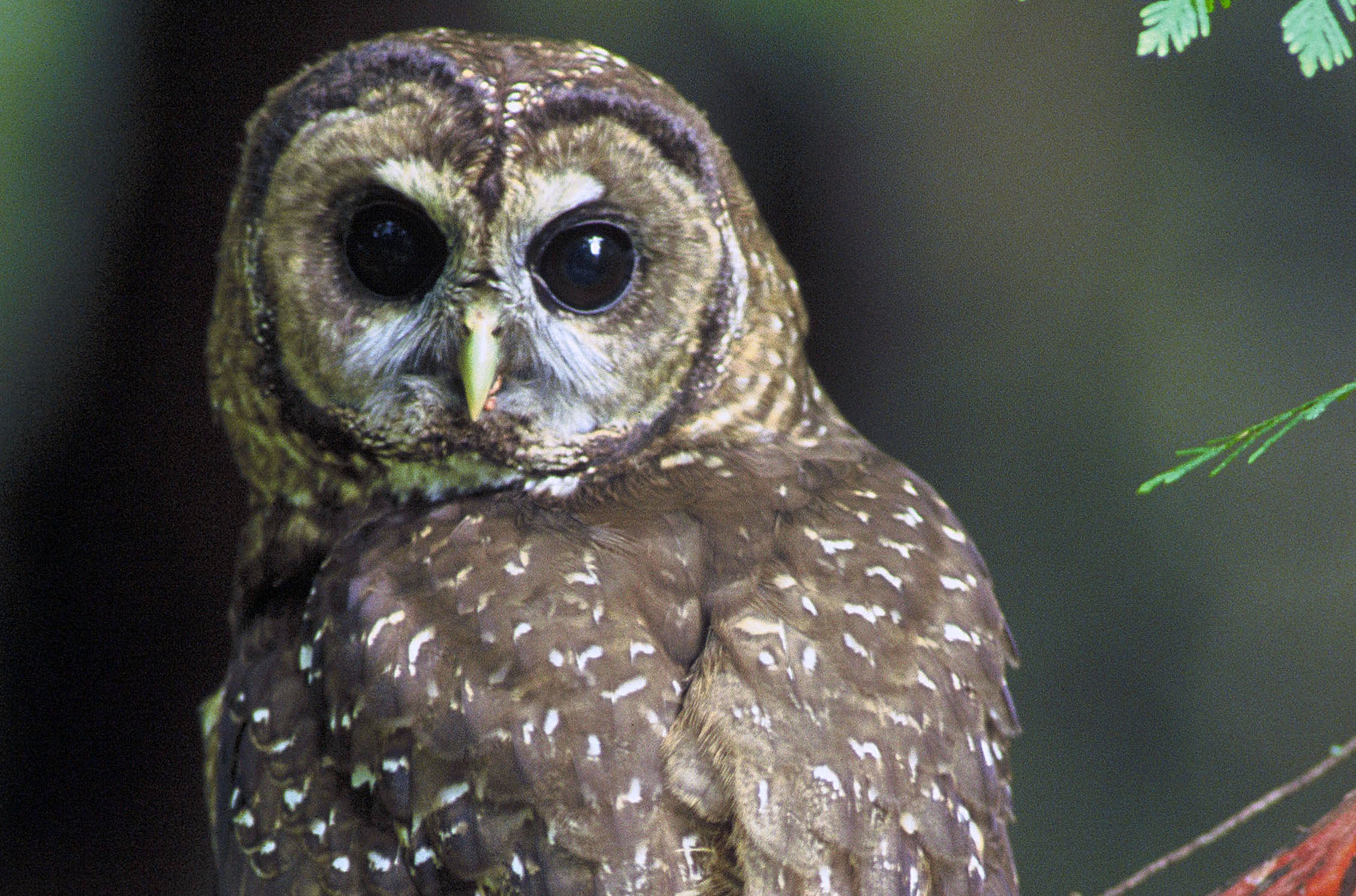 The Northern Spotted Owl and Oregon Law: A Research Project
