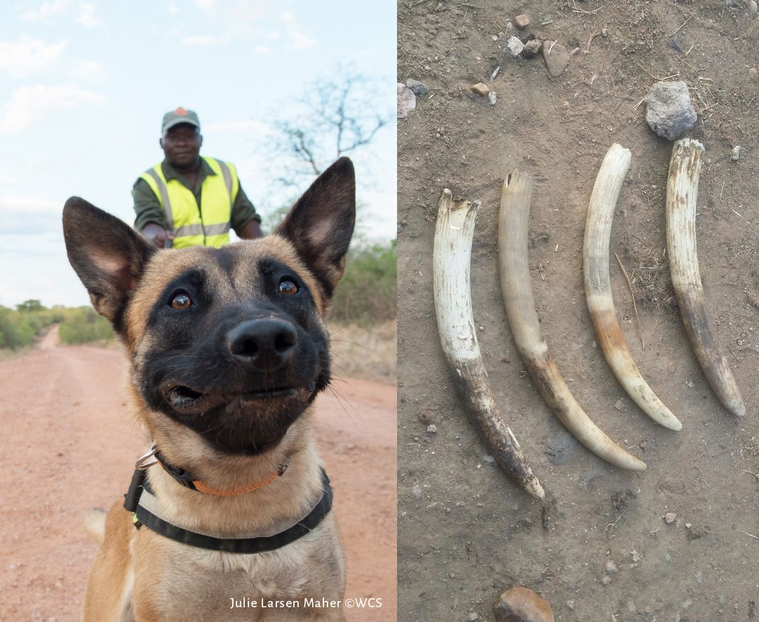 """The tusks have come presumably from """"young elephants that had not even reached middle age"""", experts say. Photos by Julie Larsen Maher/Wildlife Conservation Society."""