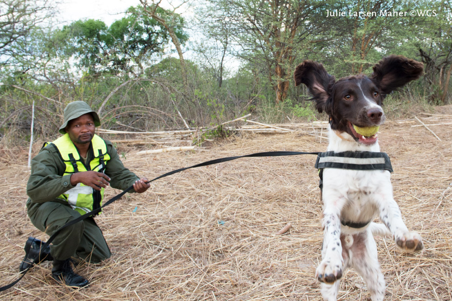Dexter with his handler. Photo by Julie Larsen Maher/Wildlife Conservation Society.