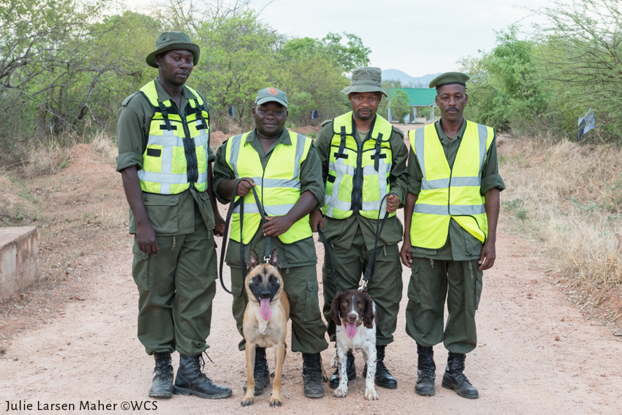 Detector dogs Jenny, left, a Belgian Malinois, and Dexter, an English springer spaniel, with Tanzanian authorties. Photo by Julie Larsen Maher/Wildlife Conservation Society.