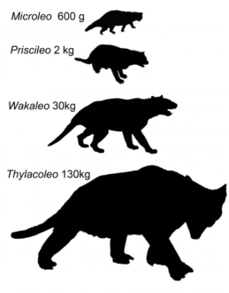Size differences between Microleo attenboroughi and the three other genera of marsupial lions, Priscileo, Wakaleo and Thylacoleo. Image: UNSW.