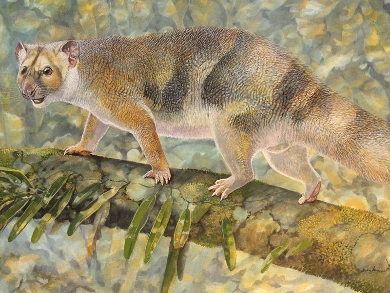 Reconstruction by palaeoartist Peter Schouten of Microleo attenboroughi prowling along the branches of rainforest trees in search of prey. Image credit: Peter Schouten