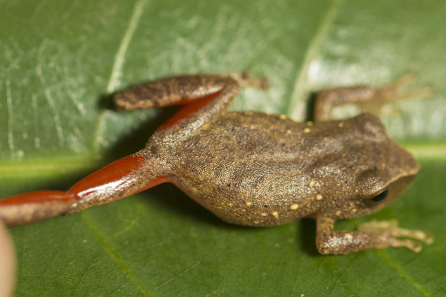 The newly described Pristimantis pulchridormientes showing off its vibrant legs. Photo by Germán Chávez