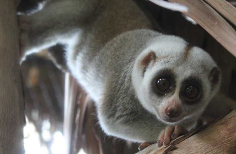 The survival of the slow loris will depend on increased funding for conservation and on the public's willingness to give it up as a pet and for traditional medicine. Photo by Stephanie Poindexter