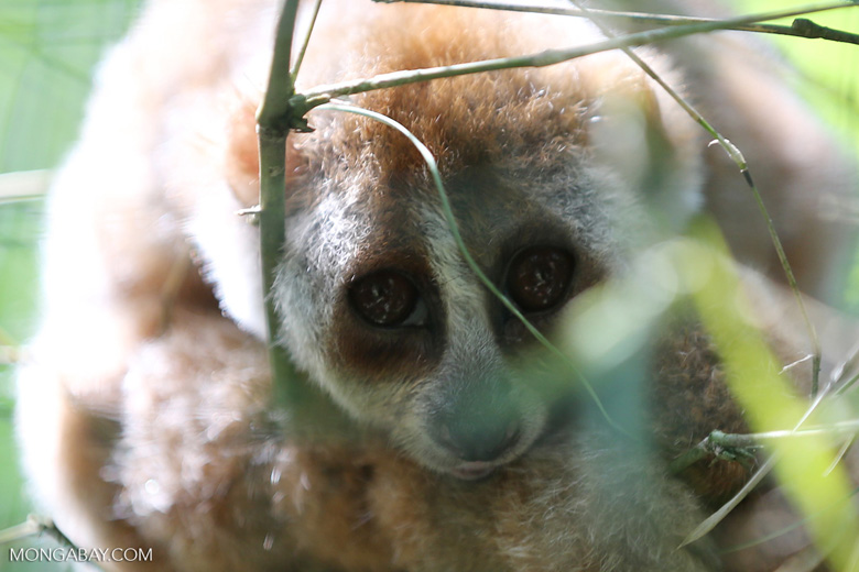 A slow loris in north Sumatra. Photo by Rhett A. Butler