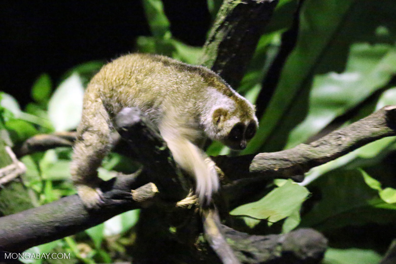 The loris, unlike many other primates, can't swing tree to tree, but moves slowly from limb to limb. Photo by Rhett A. Butler