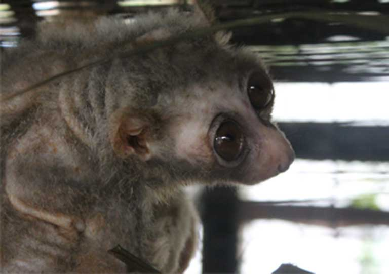 This rescued Bengal slow loris is underweight and has had its teeth clipped and can never be released back into the wild. Photo by Stephanie Poindexter