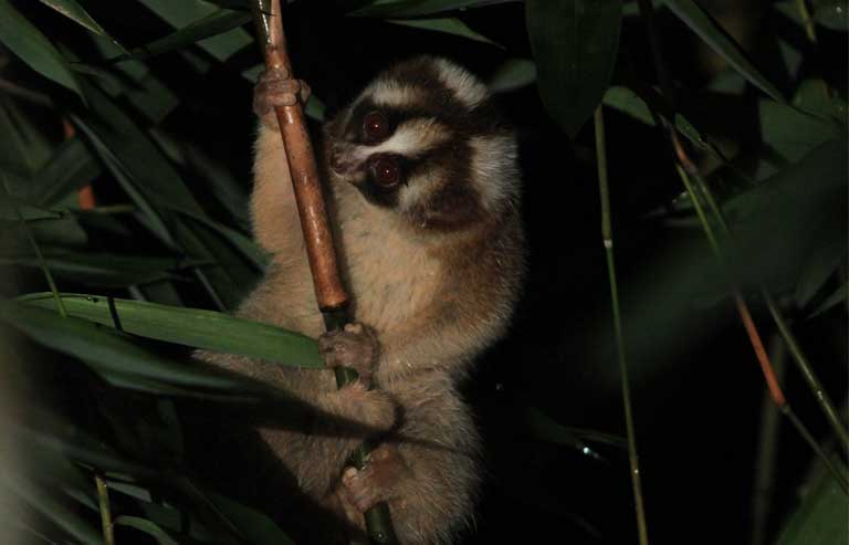 A Javan slow loris climbing bamboo at night; only 20 percent of this species' habitat remains. Photo by Kathleen Reinhardt