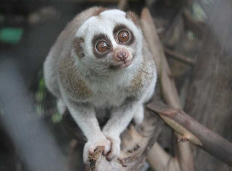 "Though the slow loris may appear ""cute"" to human eyes, they have a toxic bite and do not thrive in captivity. Wildlife trafficking is a major cause of slow loris decline. Photo by Stephanie Poindexter"