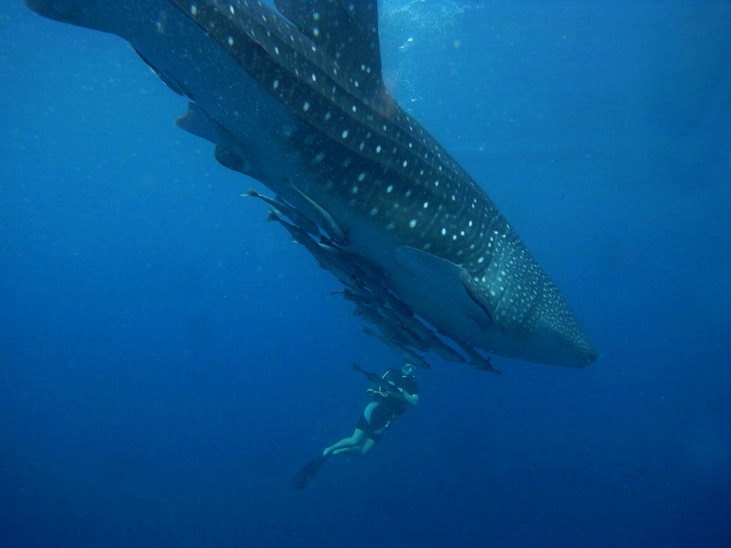 A diver photographs a whale shark in Indonesia's Papua. Photo by Marcel Ekkel/Flicker