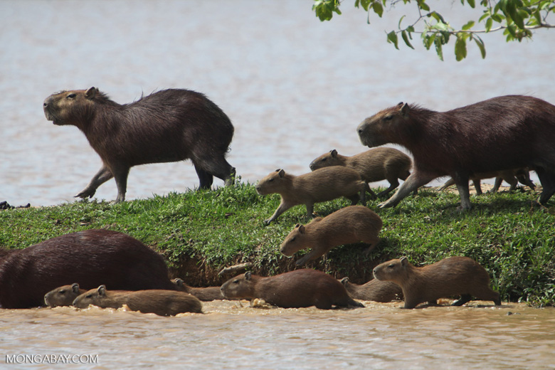 "The capybara is the world's largest rodent. The loss of species from islands also means the loss of species interactions: without predators, capybaras have turned some islands within the Balbina dam reservoir in Brazil into ""nothing more than capybara grazing lawns,"" lead researcher Isabel Jones told Mongabay. Photo by Rhett A. Butler"