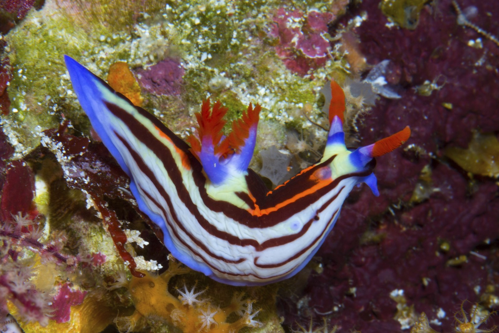 A nudibranch seen swimming on a sea floor near Timor-Leste, Atauro Island. Photo copyright: Conservation International/Photo by Mark Erdmann