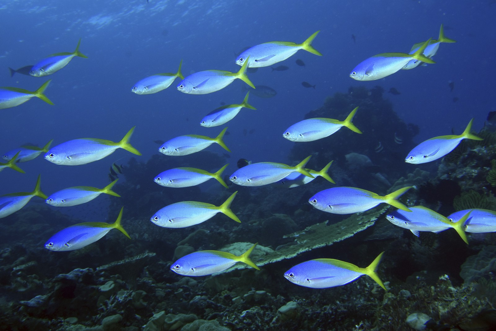 Yellow back fusiliers swim together in waters near Timor-Leste, Atauro Island. Photo by Gerry Allen.