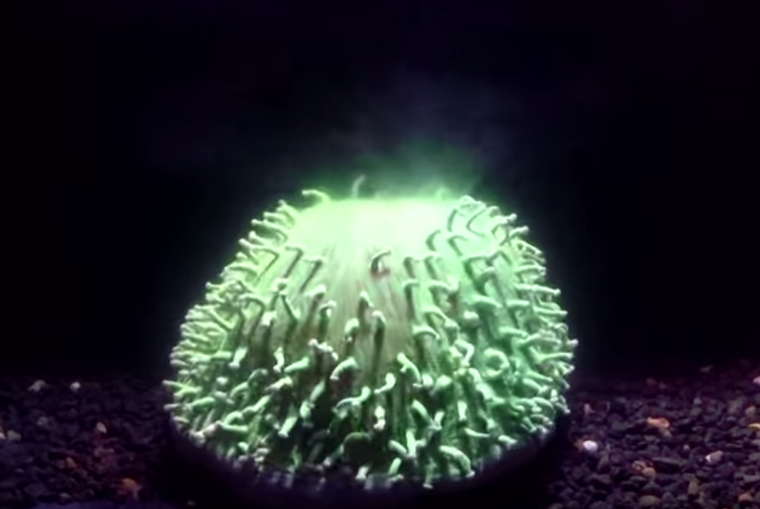 A coral, Heliofungia actiniformis, inflates and releases a green plume of algae. Image from video. Credit: Brett Lewis and Dr Luke Nothdurft, Queensland University of Technology in Australia.