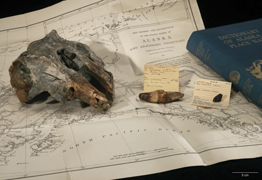 The skull of Akrtocara yakataga rests on an 1875 ethnographic map of Alaska drawn by William Healey Dall, a broadly trained naturalist who worked for several US government agencies, including the Smithsonian, and honored with several species of living mammals, including Dall's porpoise (Phocoenoides dalli). Photo by James DiLoreto / Smithsonian Institution.