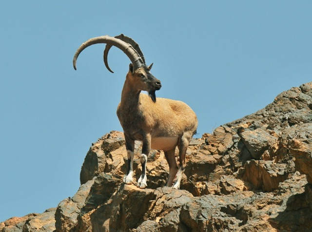 Persian ibex (Capra aegagrus). Photo by Hassan Moghimi