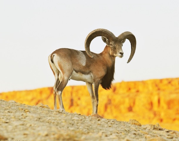 Laristan wild sheep (Ovis orientalis laristanica), found only in Iran. Photo by Hassan Moghimi