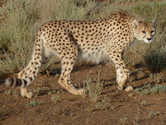 A rare subspecies of the Critically Endangered Asiatic cheetah (Acinonyx jubatus venaticus), found only in Iran. Photo by Morad Tahbaz