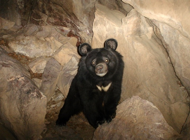 Asiatic black bear (Ursus thibetanus), photographed by a camera trap. Photo courtesy of Hadi Fahimi
