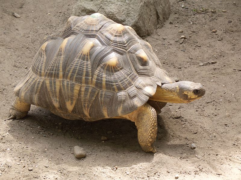 A Chinese court sentenced seven people to prison terms for smuggling rare Radiated Tortoises. Photo by Kyle Bedell, licensed under Creative Commons Attribution 2.0 Generic.