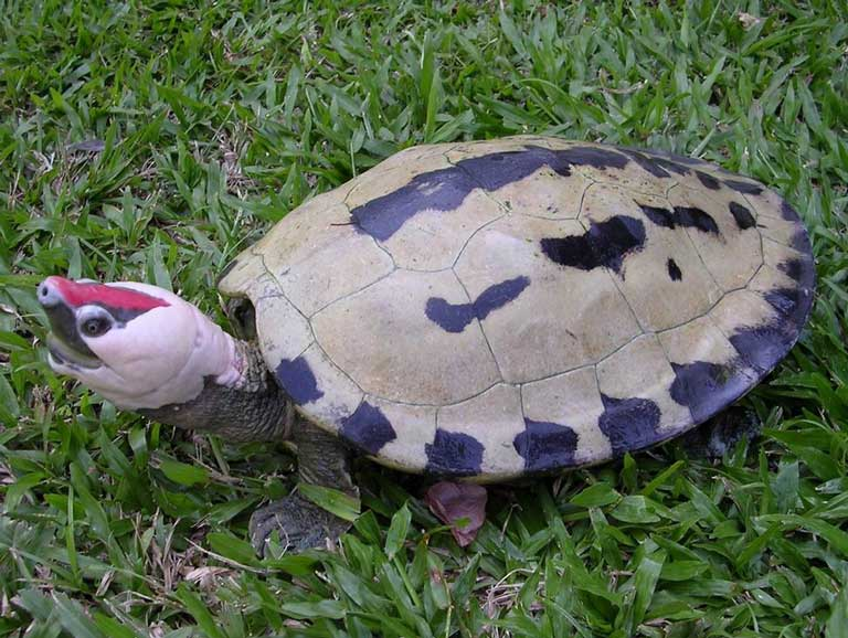 Painted terrapin male during breeding season. Photo by Doug Hendrie courtesy of TSA