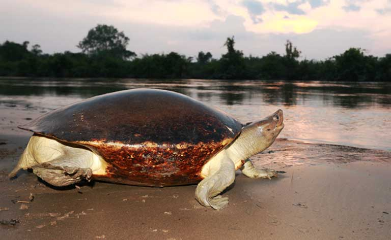 A female Painted terrapin and her home, the Tamiang River. Photo by Joko Guntoro courtesy of the Satucita Foundation