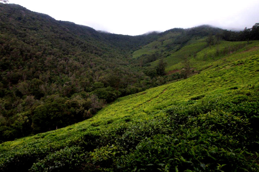 A view from the EBR site at Doddakombai. The forests on the extreme left consist mostly of exotic trees, those at the center are sholas and on the right are abandoned tea estates. Photo by Sibi Arasu