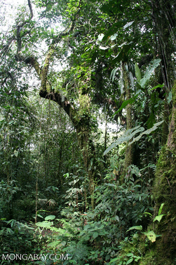 Cloud forests can only march so far upslope before they run out of room to escape rising temperatures. Photo by Rhett A. Butler