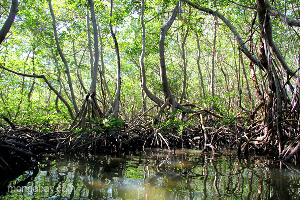 Scientists have found that some mangrove roots can serve as a refugia for corals. Photo by Tiffany Roufs