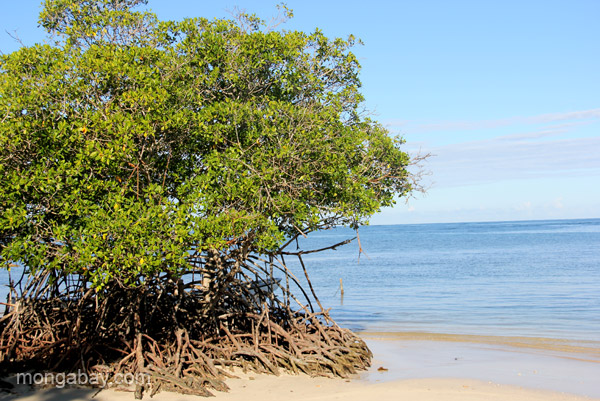 Mangroves protect coasts and human populations from extreme weather, such as hurricanes which are intensifying due to climate change. Photo by Tiffany Roufs