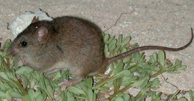 The Bramble cay melomy (Melomys rubicola) declared extinct in 2016 due to habitat loss due to rising sea levels, the first mammal known to go extinct due to human caused climate change. Photo by Ian Bell