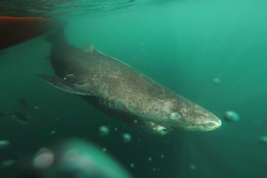 Greenland sharks live for hundreds of years. Photo credit: Julius Nielsen.