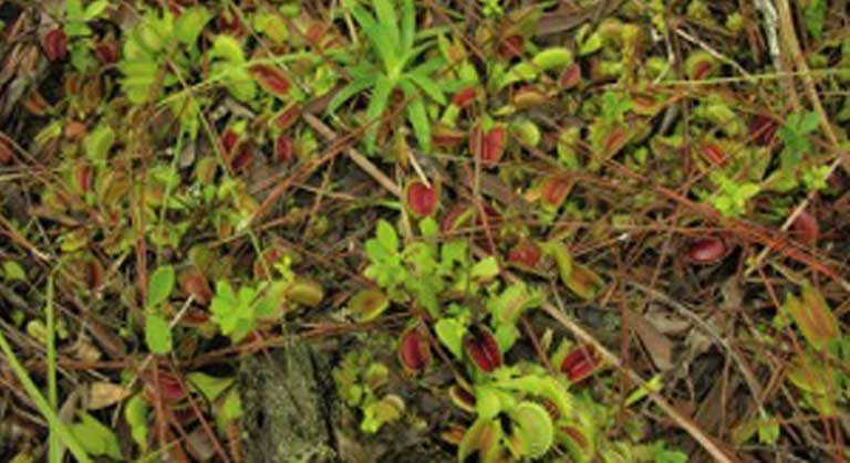 Wild flytraps grow in habitats restricted to the wet savannas in the southeast corner of North Carolina and bits of South Carolina. Photo courtesy of Stewart McPherson