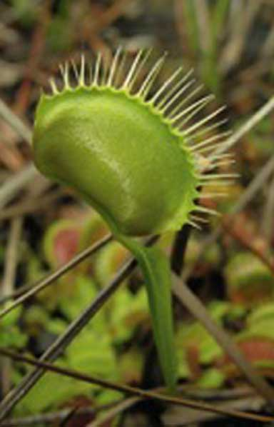 Venus flytraps need fires to burn away woody plants and shrubs that would grow in and shade the flytraps out. Photo courtesy of Stewart McPherson