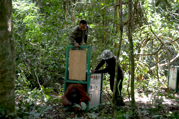 One of the orangutans is released into the forest. Photo courtesy of the Borneo Orangutan Survival Foundation