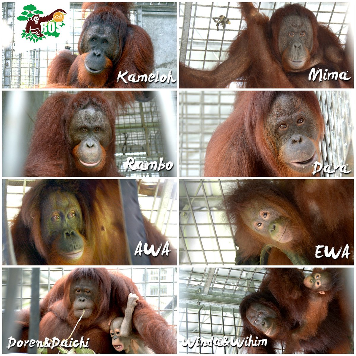 These 10 orangutans were released into the wild in Borneo last week. Image courtesy of the Borneo Orangutan Survival Foundation