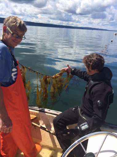 Researchers examine bull kelp grown in a pilot planting in preparation for a study on the effect of kelp forests on seawater acidity in Washington state's Puget Sound. Photo courtesy of the Puget Sound Restoration Fund