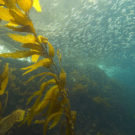Kelp and sardines in the Channel Islands National Marine Sanctuary in California. Photo courtesy of NOAA's National Ocean Service