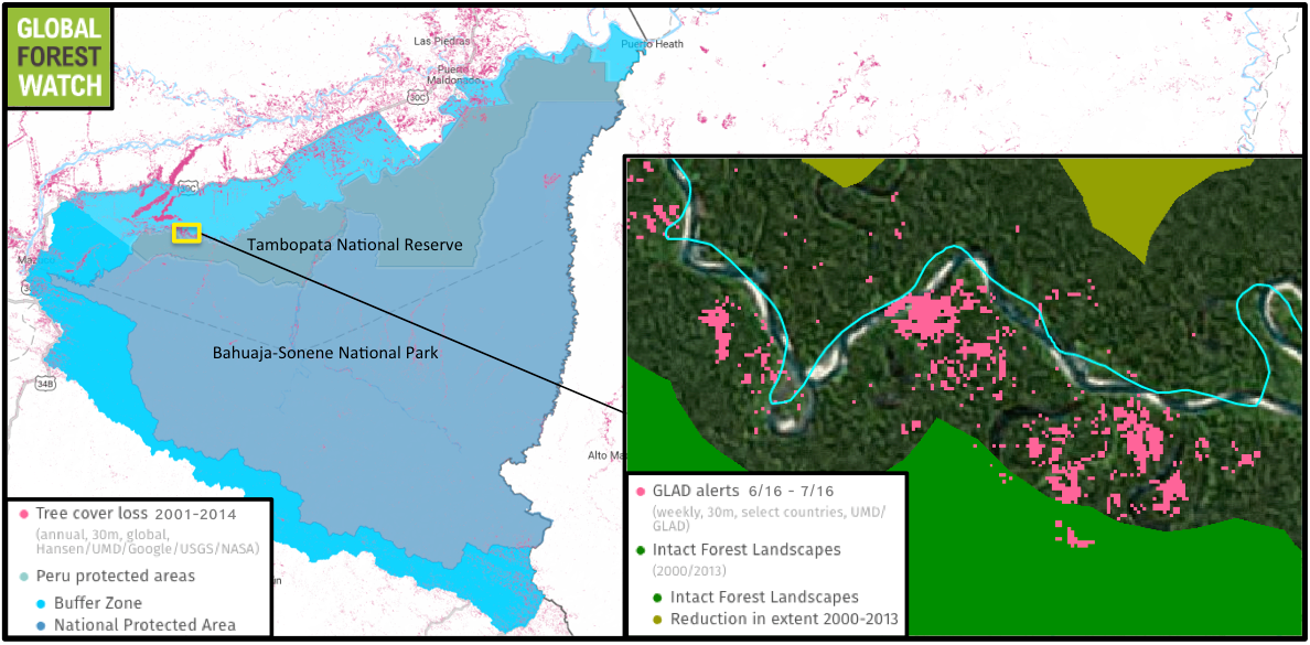 Global Forest Watch shows recent tree cover loss alerts reaching into an IFL in Tambopata National Reserve. Gold mining has displaced huge swaths of forest north of the reserve, including in its adjacent buffer zone.