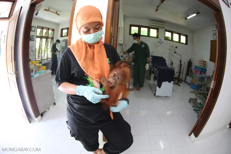 Orphaned baby orangutan at a facility run by the Sumatran Orangutan Conservation Programme in North Sumatra. Photo by Rhett A. Butler