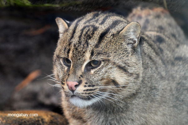 The Fishing cat and its researchers are hoping that this small cat will receive a big boost in funding. Photo by Rhett A. Butler