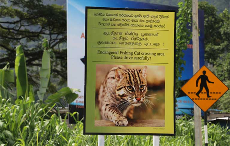 Road accidents are a major threat to Fishing cats in Sri Lanka. To combat this problem, a group of young conservationists led by Ashan Thudugala began to place road signs. So far 14 signs have been set up in seven different areas. No further road kill incidents have been recorded at these sites. Photo by Ashan Thudugala
