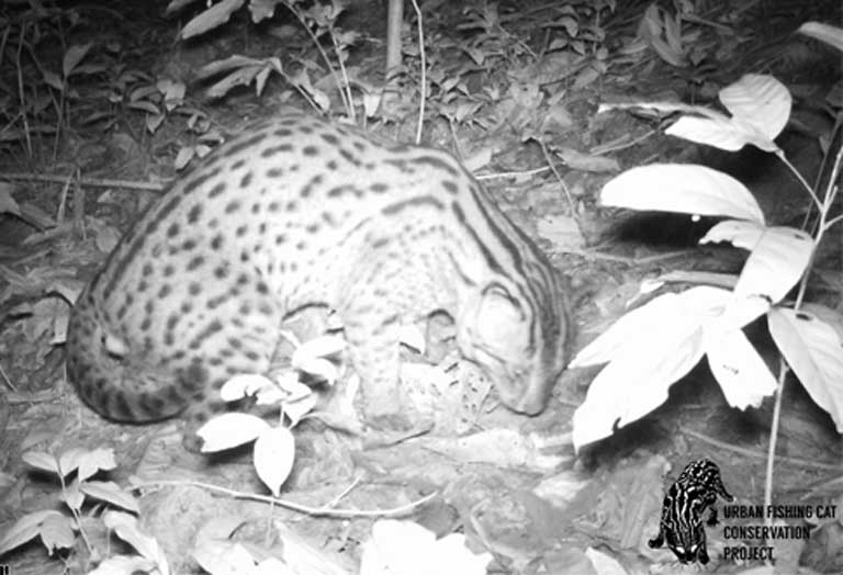 An urban Fishing cat caught by a camera trap. Whether or not the species can adapt to human-dominated environments long term is a crucial question for researchers. Photo by the Urban Fishing Cat Conservation Project
