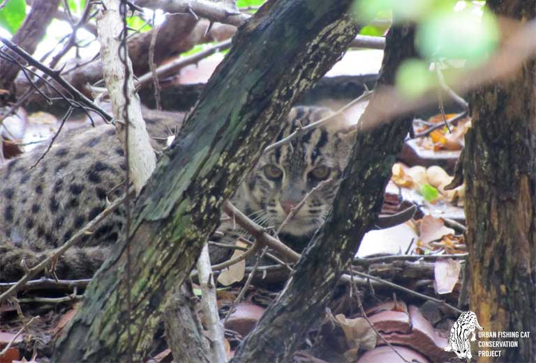 A Fishing cat lurks in the undergrowth. It is thought that there are around 3,000 left in the wild, though this, like much else about the Fishing cat is uncertain. Photo by the Urban Fishing Cat Conservation Project